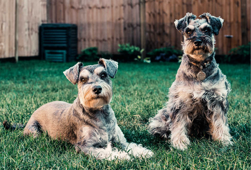 The Schnauzer is one of the top 19 Hypoallergenic dog breeds for people with pet allergies.