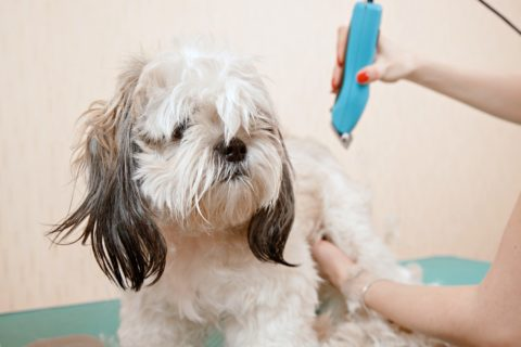 If you're going to do Shih Tzu grooming yourself, then you'll need some high-quality tools - like a good pair of clippers.