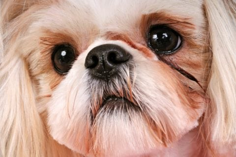 Shih Tzu tear staining is common