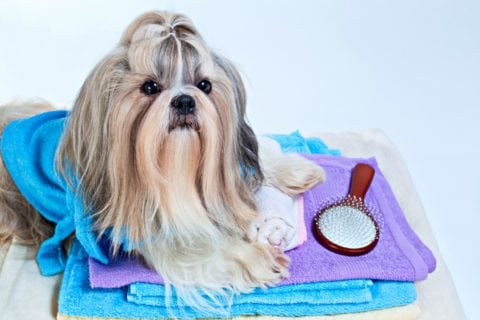 Shih Tzu hair requires frequent brushing to keep it from getting mats.