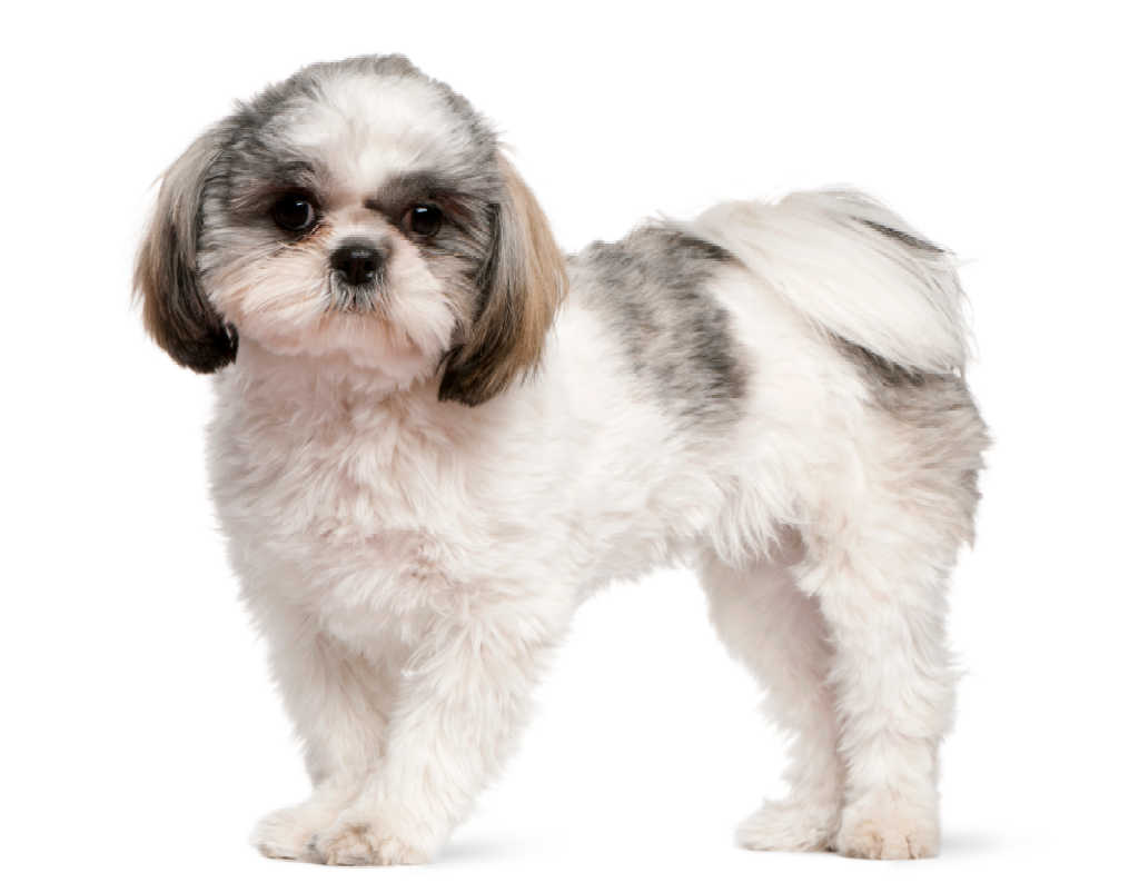 The Shih Tzu is one of the top 19 Hypoallergenic dog breeds for people with pet allergies.