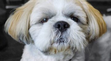 How To Care For Shih Tzu Eyes In Order To Prevent Shih Tzu Eye Problems