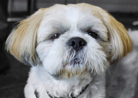 See a list of things that can cause Shih Tzu eyes to water.