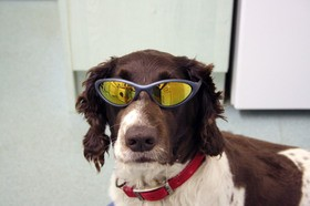 springer-spaniel-dog-wearing-sunglasses-by-tonylanciabeta.jpg