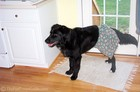 Nope, he's not a boxer... just a black lab-golden retriever mix who's sporting some really cool boxer shorts!