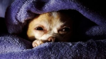 Like Teacup Dogs? Read This Before You Get A Teacup Chihuahua!