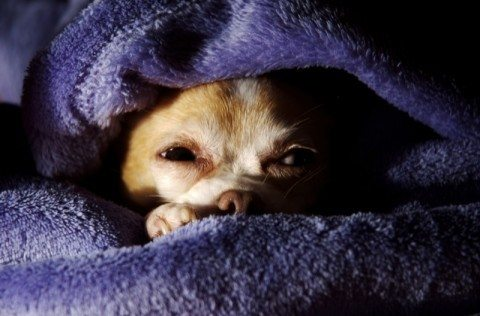 teacup-chihuahua-in-blanket-by-jennifer-leigh.jpg