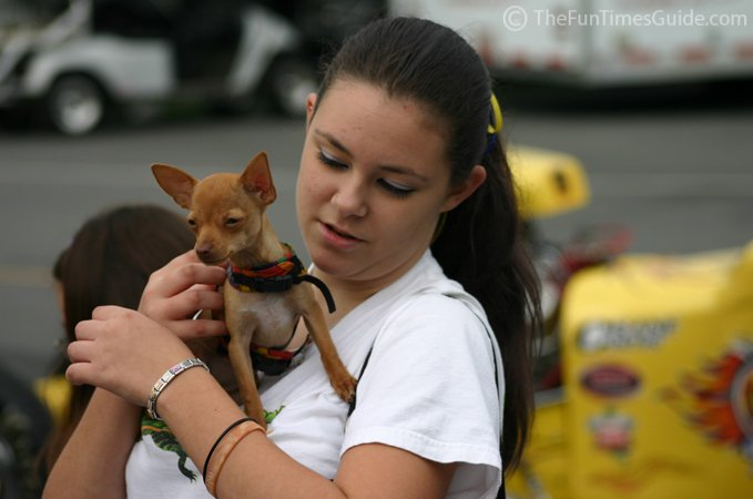 The Pros Amp Cons Of Teacup Chihuahuas The Dog Guide