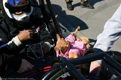 teacup-chihuahua-on-drag-racing-car.jpg