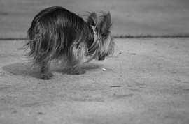 teacup-yorkshire-terrier-dog-cigarette-by-swatjester.jpg
