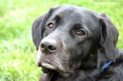 tenor-black-lab-dog-looking-inquisitive.jpg