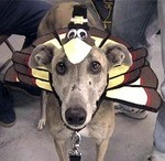 A dog wearing a Thanksgiving costume for dogs - a turkey costume.