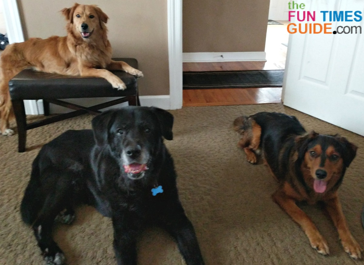 Little Tenor (Black Lab / Great Pyrenees) is all grown up here, next to the 2 puppies we found on the side of the road and adopted (Australian Shepherd / Golden Retriever)..