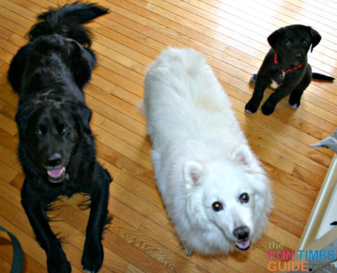 Our first 3 dogs as a family... my American Eskimo that entered the marriage with me, the Black Lab mix that hubby found under a dumpster as a pup, and Tenor as a puppy that we picked out together.