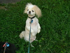 tibetan-spaniel-pekingese-with-summer-shave-by-shoe-the-Linux-Librarian.jpg