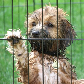 tibetan-terrier-in-playpen-by-sue_r_b.jpg