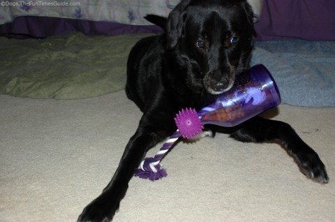 My dog's first time playing with the Tug-A-Jug interactive treat toy