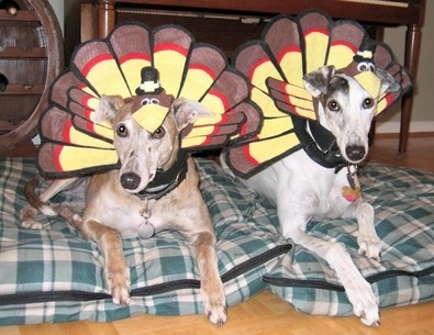 Dogs wearing Turkey costumes.