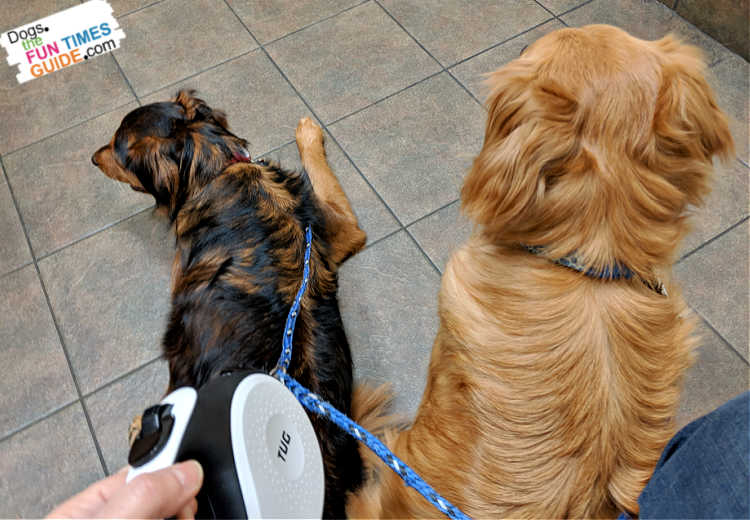 Using 2 Cujo Leash extensions on the end of a retractable leash.