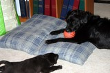 Two dogs on one pet bed.