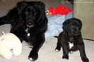 Puppy Update: Tenor Is Black… And A Little Blue