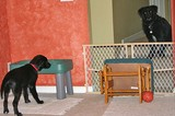 Here, the baby gate is being used to separate two dogs temporarily.
