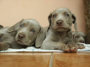 weimaraner-puppies-by-emarquetti.jpg