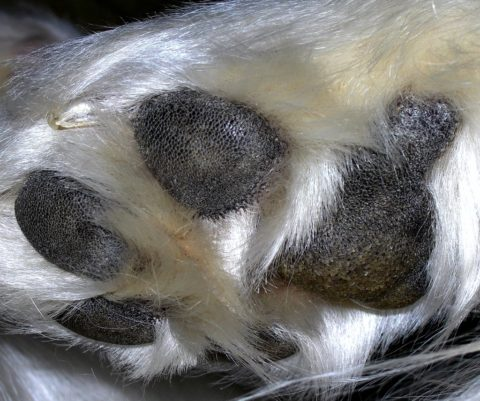 A white pups hairy dog paws.
