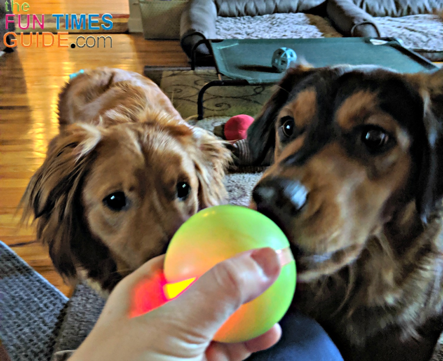 From the first day I gave my dogs the Wicked Ball, this is how they act every time I take the ball out of the drawer for them to play with it... they can't wait!
