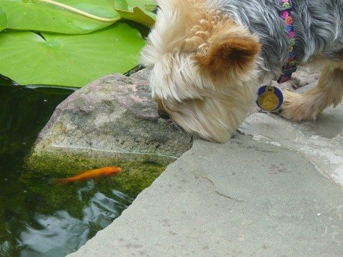 yorkie-dog-at-water-pond-by-polepeople.jpg