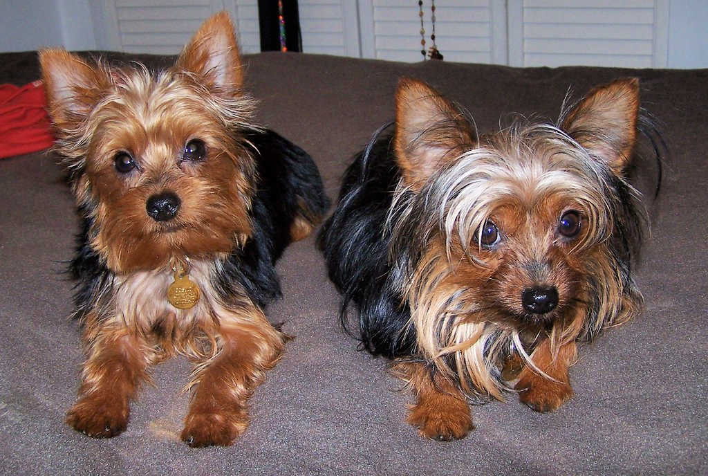The Yorkshire Terrier is one of the top 19 Hypoallergenic dog breeds for people with pet allergies.