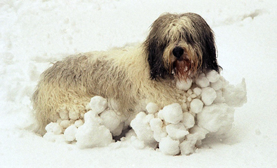 http://dogs.thefuntimesguide.com/images/blogs/great-balls-of-snow-on-a-dog.jpg