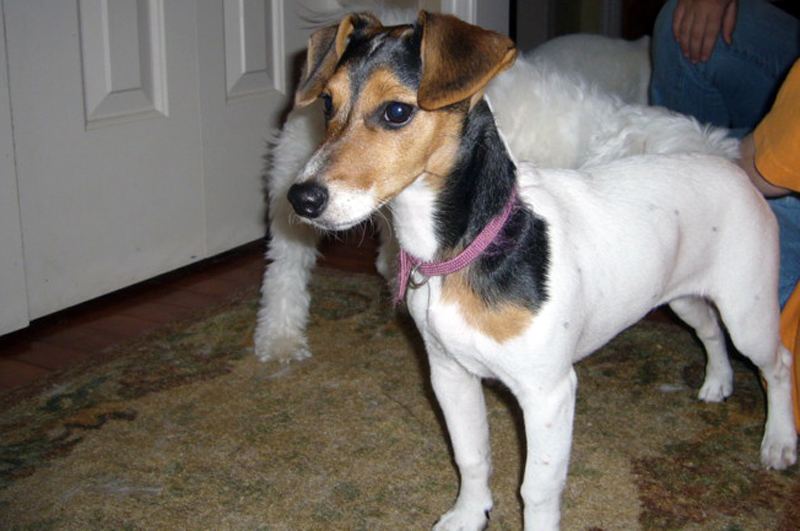 http://dogs.thefuntimesguide.com/images/blogs/molly-terrier-dog-pic.jpg
