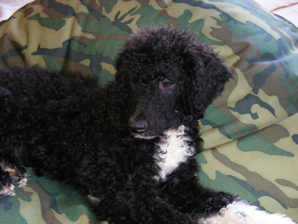 Portuguese Water Dog Pictures Portuguese Water Dog Puppies For Sale ...