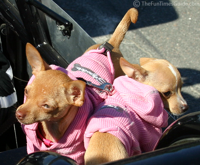 http://dogs.thefuntimesguide.com/images/blogs/teacup-chihuahuas-in-pink.jpg